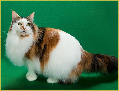 CFA赛级缅因猫头衔有哪些?
