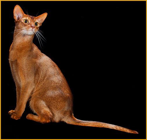阿比猫一般要一万多,阿比西尼亚猫为什么这么贵?