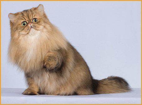 波斯猫的性格是什么样的