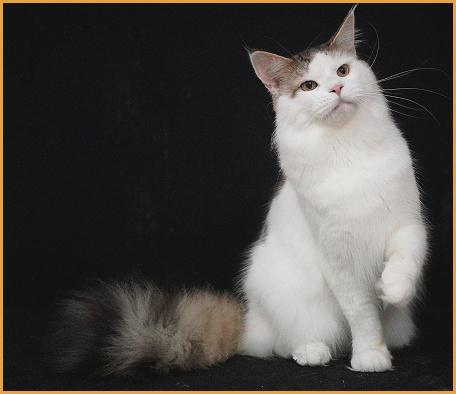 缅因猫开销:一个月吃多少猫粮_花费多少?