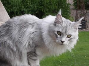 银烟色缅因猫
