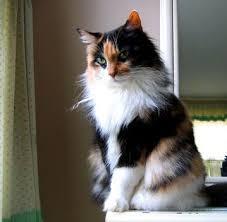 三花色缅因猫