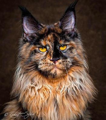 玳瑁色缅因猫