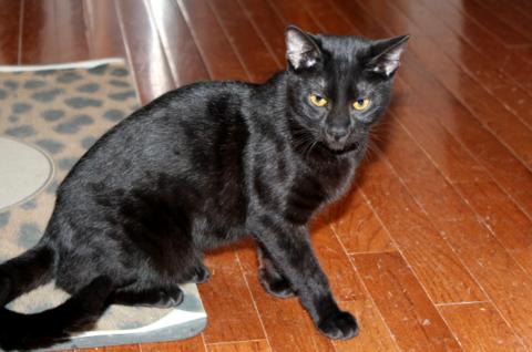 豹猫有返祖黑色吗?谈孟加拉豹猫黑色