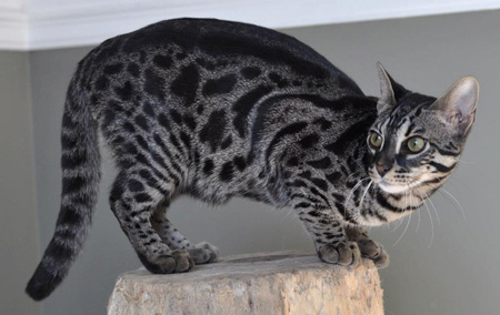 孟加拉豹猫深色中的木炭色孟加拉豹猫