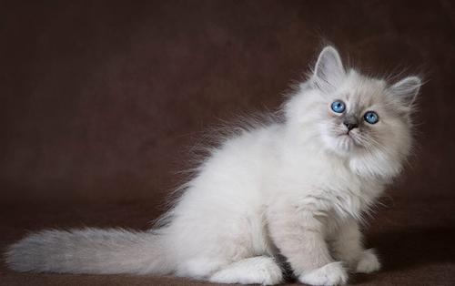 西伯利亚森林猫传统色,谈涅瓦色西伯利亚森林猫