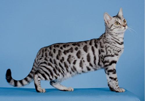 世界名宠俱乐部的孟加拉豹猫知识系列