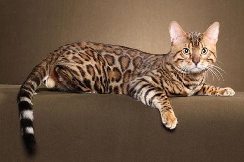 孟加拉豹猫回新家注意事项篇