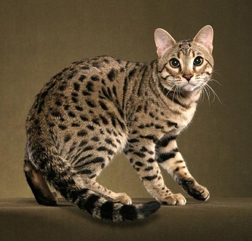 孟加拉豹猫花纹种类,谈孟加拉豹猫斑点纹