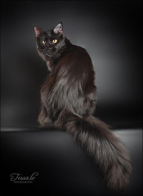 纯黑色缅因猫