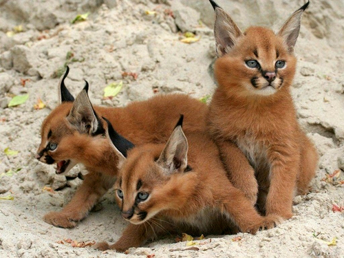 《揭密:它们为什么是世界十大禁养名猫?》