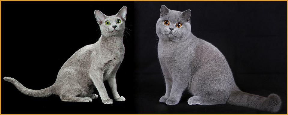 英国蓝猫和俄罗斯蓝猫,谈英国短毛猫和蓝猫区别