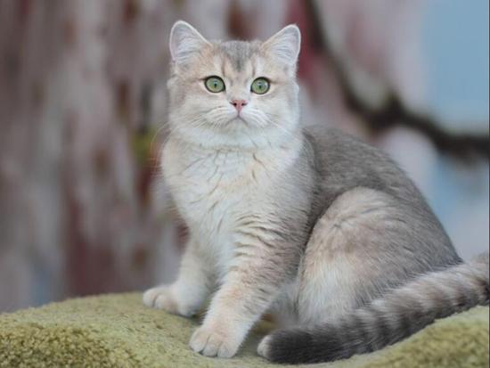 猫眼白内障病分为原发性和继发性,猫白内障病主要疗法