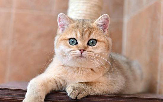 猫先天性胆囊囊肿病常见于波斯猫和喜马拉雅猫,猫胆囊囊肿病治疗