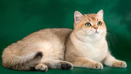 英国短毛猫多少钱一只?英短金渐层多少钱一只?