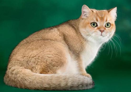 金渐层是什么猫?金渐层猫百度百科
