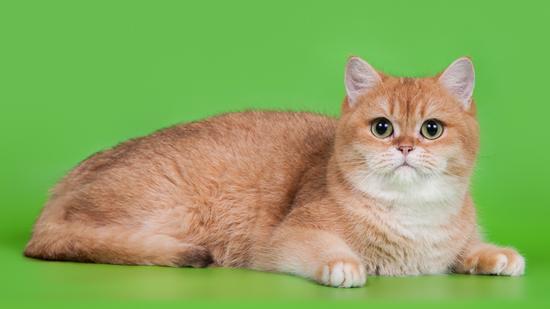 英短渐层猫,谈英国短毛猫渐层色