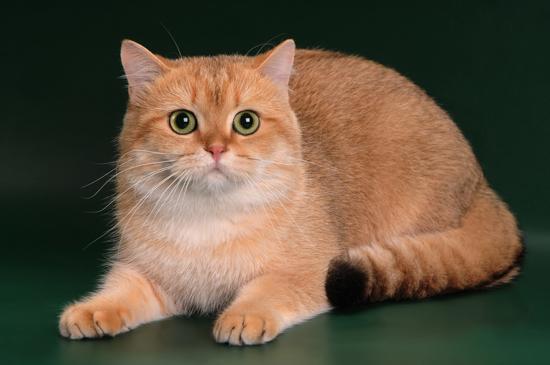 英国短毛猫招财吗?谈招财猫英短金渐层