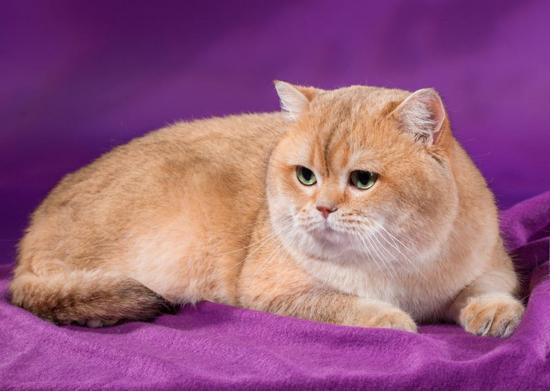 猫腹水最常见的原因?猫腹水诊断方法,猫腹水应做哪些检查化验?