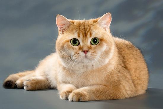 英国短毛猫有哪些颜色?谈英国短毛猫各类颜色