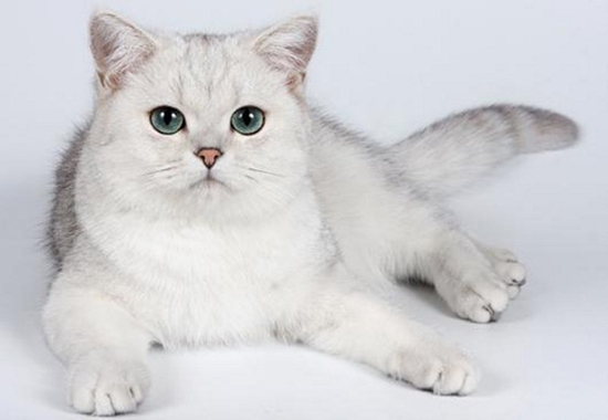 银渐层是什么猫?英短银渐层猫百度百科