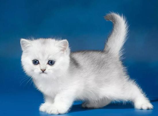 英短银渐层幼猫怎么选?英短银渐层该如何挑选?