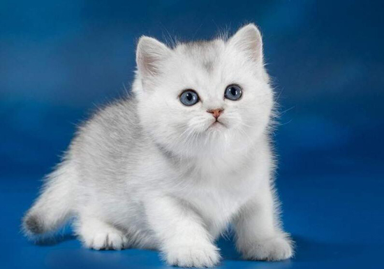英短猫_英国短毛猫的常见遗传性疾病
