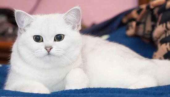 英短品相如何鉴定?谈英国短毛猫挑选的常见误区