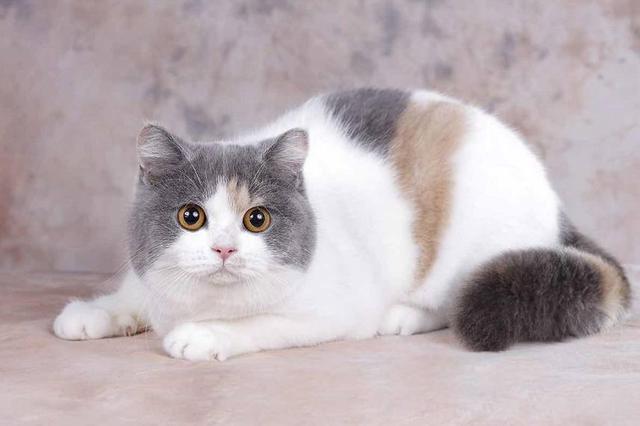怎么辨别英短三花猫?谈三花色英国短毛猫