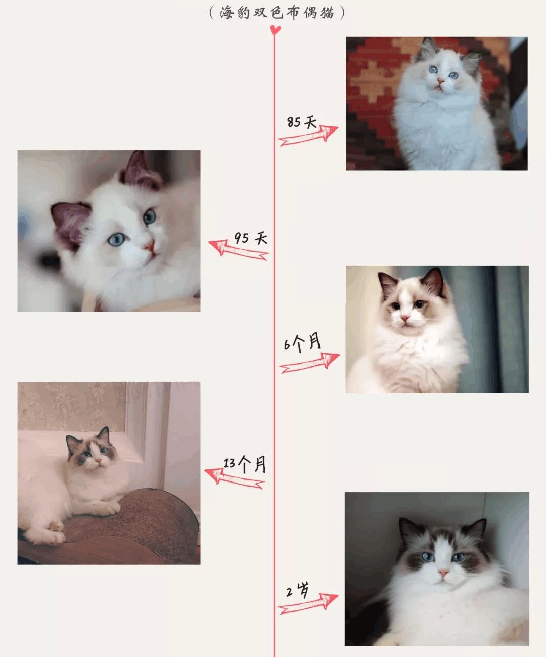 布偶猫变色图