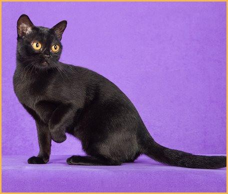猫耵聍腺疾病包括增生、囊肿或肿瘤,猫耵聍腺疾病的临床症状