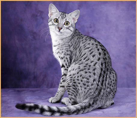 如何治疗猫虱?如何确认你的猫有虱子?