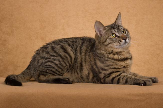 如何理解猫的行为?猫的叫声意味着什么?猫何时生气?